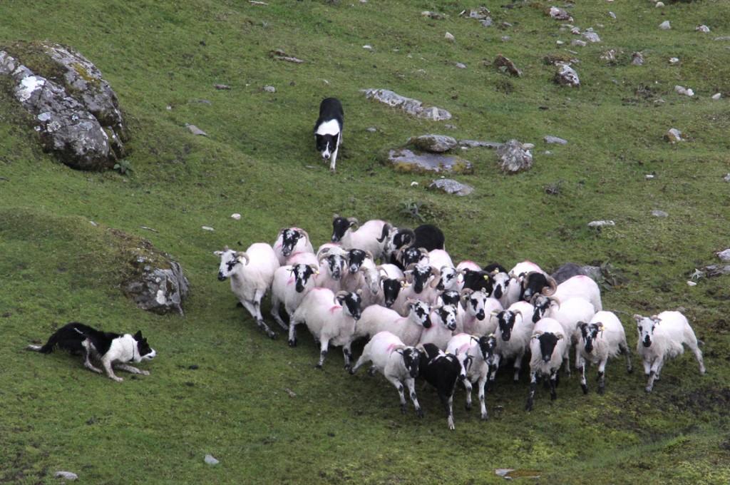 Irland 2014 (144) Kissane fårefarm