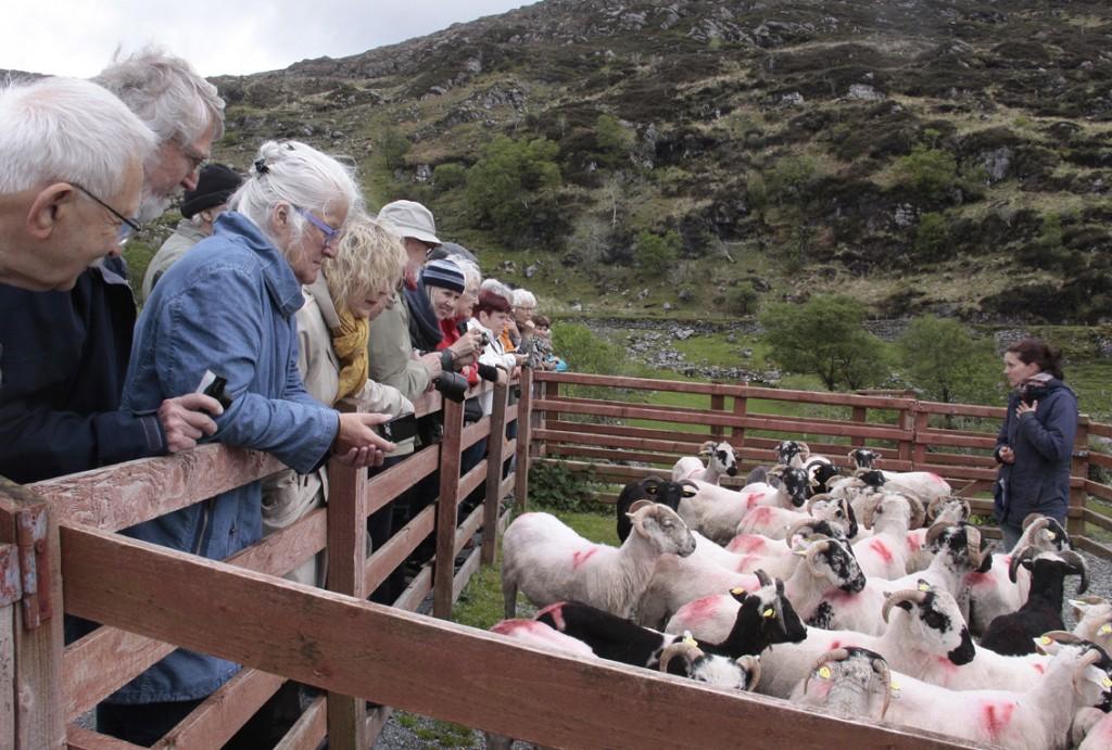 Irland 2014 (149) Kissane fårefarm