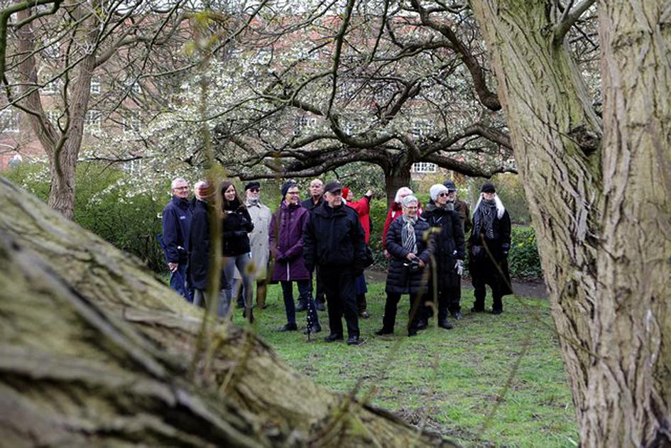 Veteranerne blandt de 1.000 træer og forårsblomstrende forsythia i Bispebjerg haveanlæg. Fotos: Peter Kay.